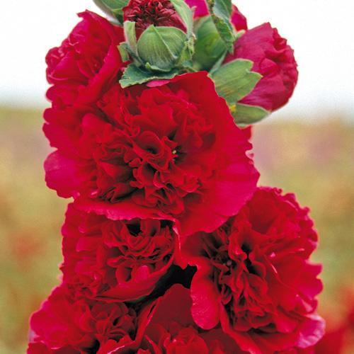 Topoľovka ružová ´CHARTER´S RED´  180 cm