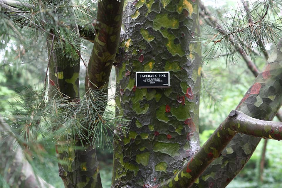 Borovica Bungeho - pestovanie - Obrázok č. 2