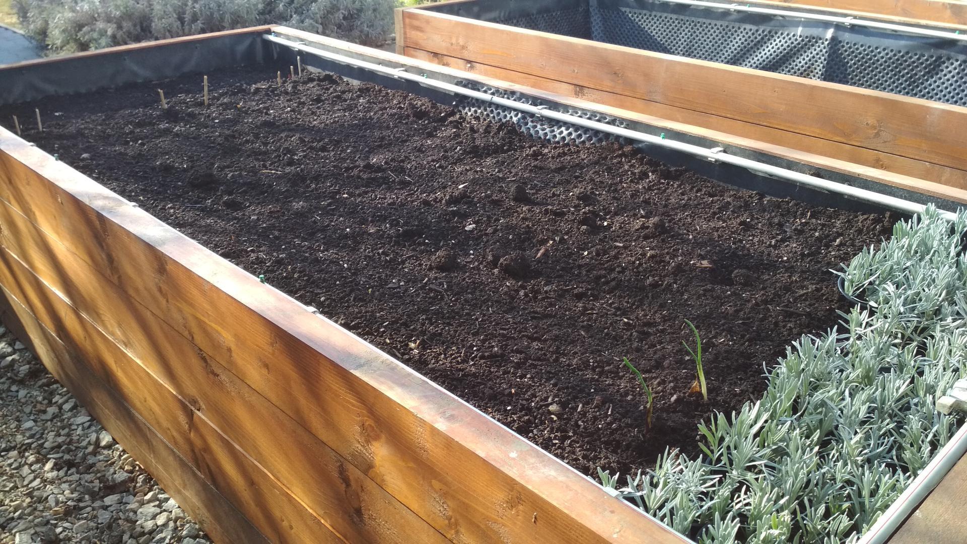 Vyvýšené záhony a úžitková záhrada - sezóna 2021 ... príprava, sadenie, starostlivosť - Obrázok č. 28