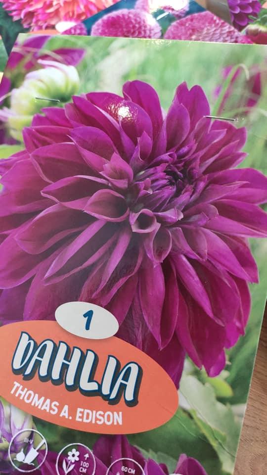 Dahlie - pestovanie v kvetináčoch - Obrázok č. 5
