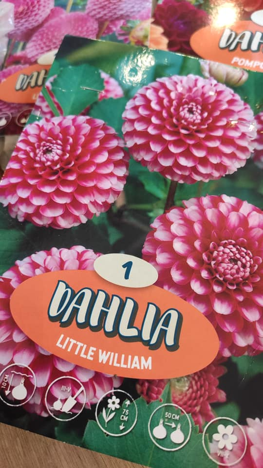 Dahlie - pestovanie v kvetináčoch - Obrázok č. 6