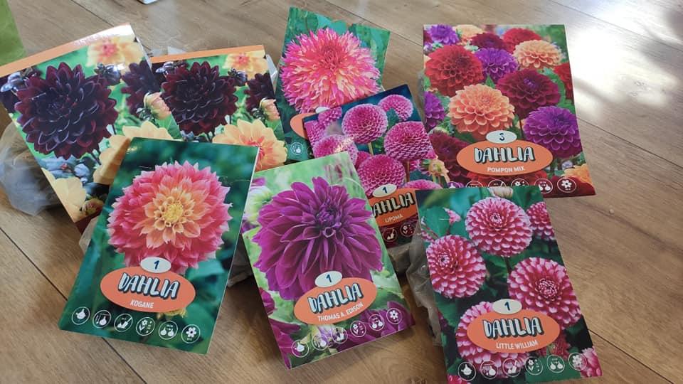 Dahlie - pestovanie v kvetináčoch - Obrázok č. 4