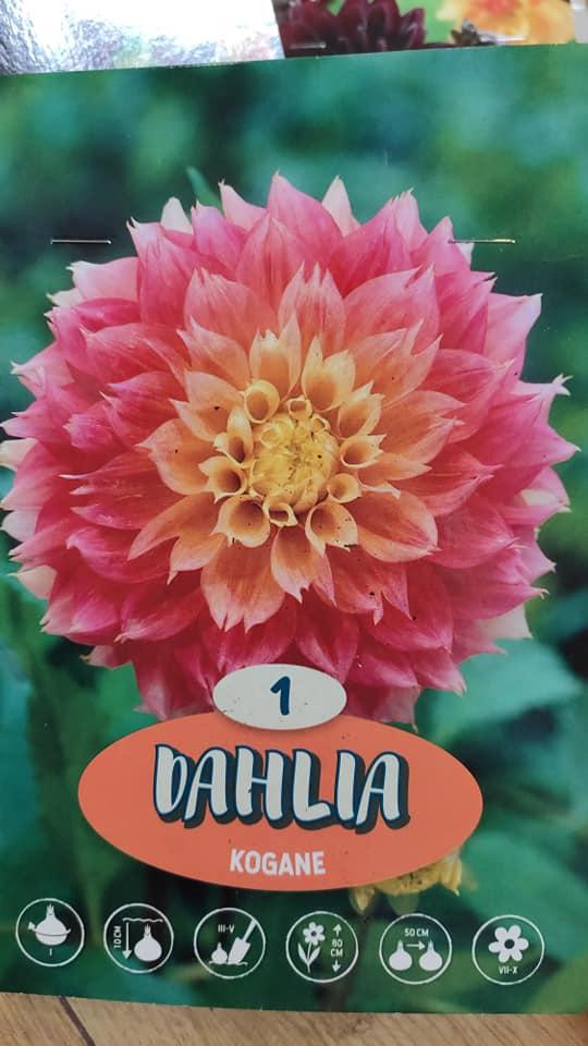 Dahlie - pestovanie v kvetináčoch - Obrázok č. 9