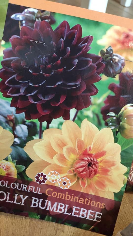 Dahlie - pestovanie v kvetináčoch - Obrázok č. 7