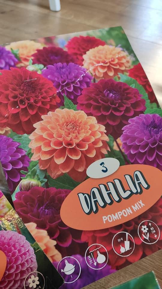 Dahlie - pestovanie v kvetináčoch - Obrázok č. 10