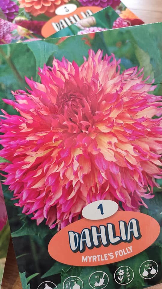 Dahlie - pestovanie v kvetináčoch - Obrázok č. 8