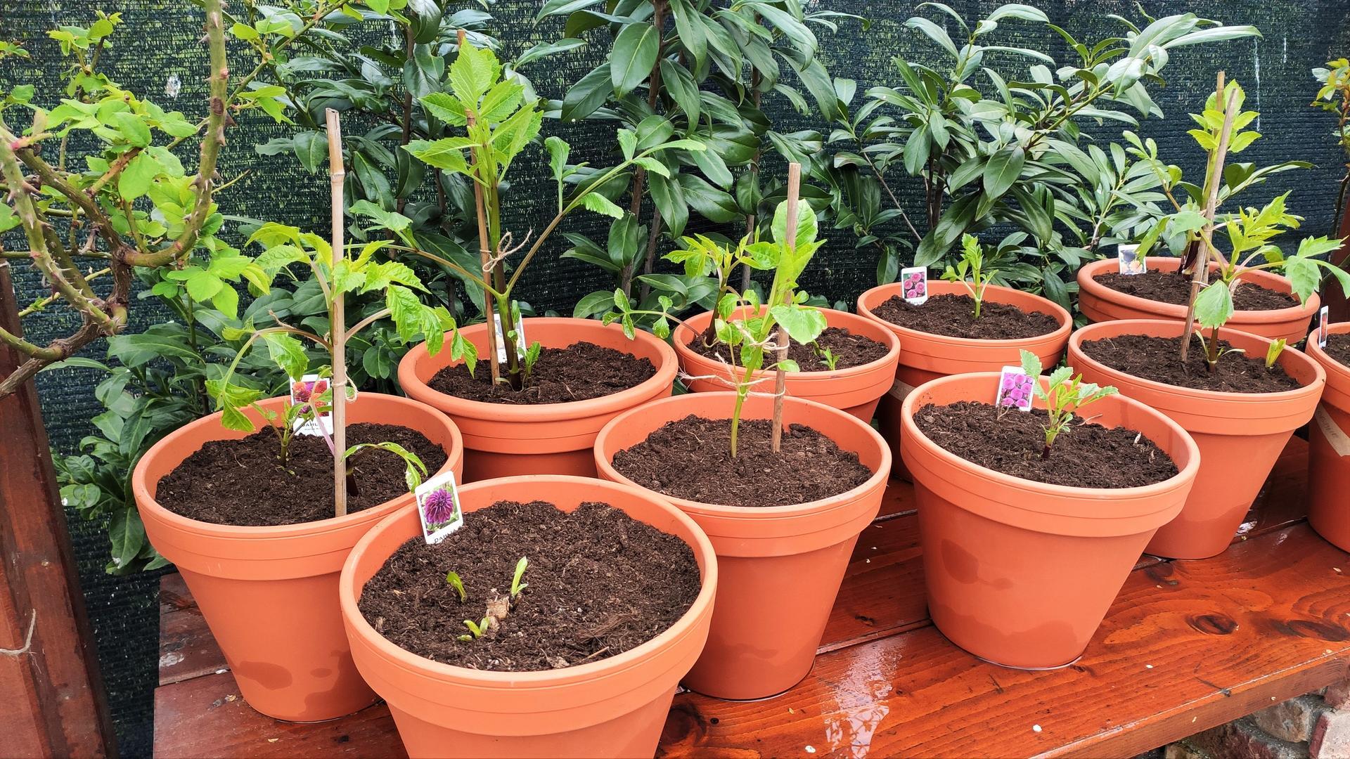 Dahlie - pestovanie v kvetináčoch - Obrázok č. 2