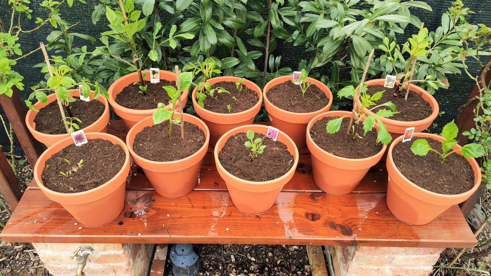 Dahlie - pestovanie v kvetináčoch - Obrázok č. 3
