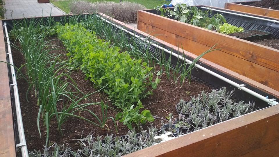 Vyvýšené záhony a úžitková záhrada - sezóna 2021 ... príprava, sadenie, starostlivosť - Obrázok č. 35