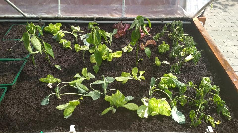 Vyvýšené záhony a úžitková záhrada - sezóna 2021 ... príprava, sadenie, starostlivosť - Obrázok č. 37