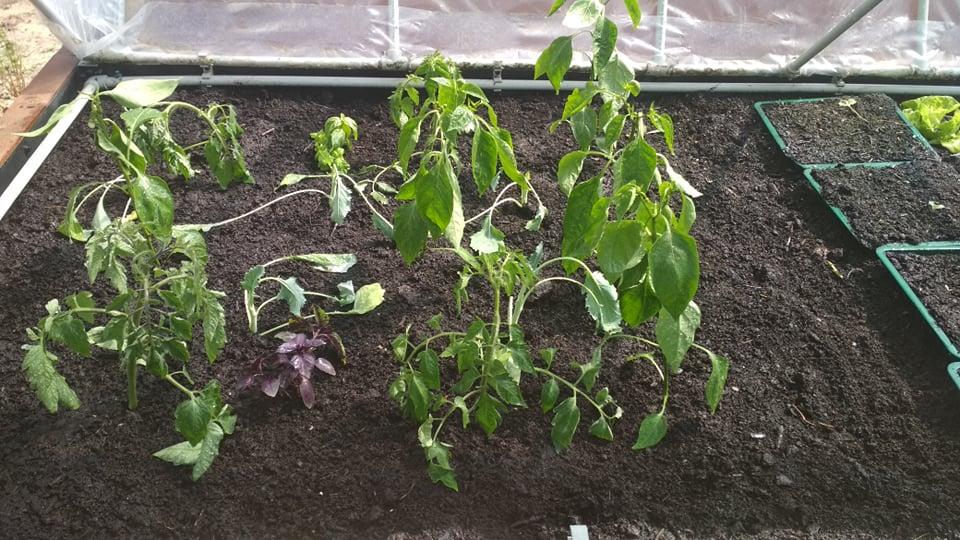 Vyvýšené záhony a úžitková záhrada - sezóna 2021 ... príprava, sadenie, starostlivosť - Obrázok č. 38