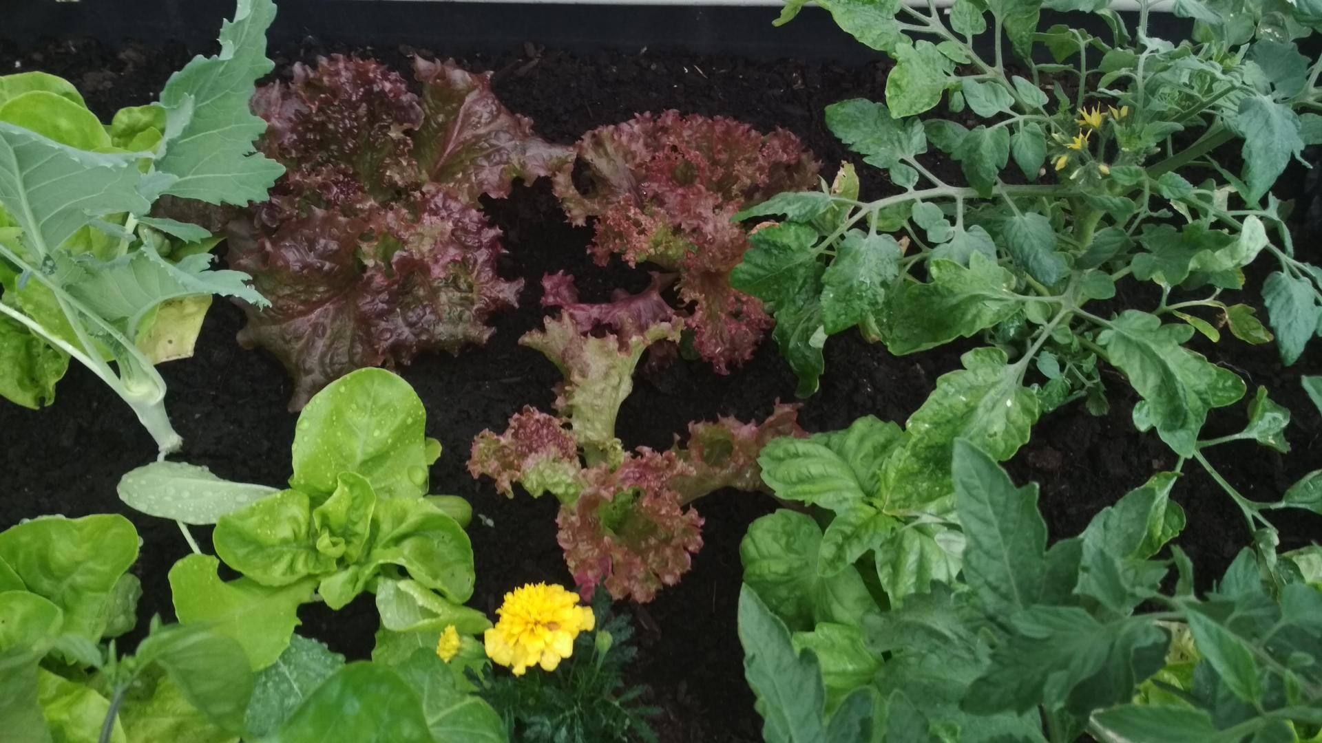 Vyvýšené záhony a úžitková záhrada - sezóna 2021 ... príprava, sadenie, starostlivosť - Obrázok č. 39
