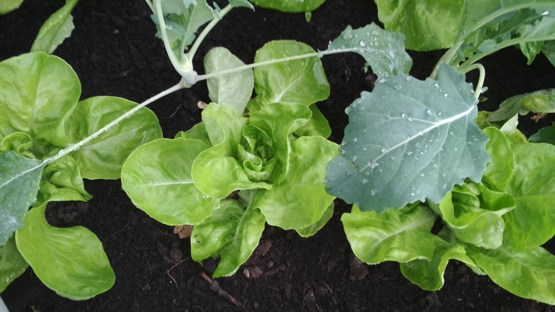 Vyvýšené záhony a úžitková záhrada - sezóna 2021 ... príprava, sadenie, starostlivosť - Obrázok č. 41