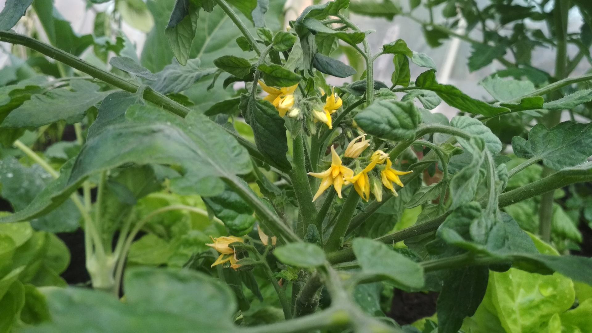 Vyvýšené záhony a úžitková záhrada - sezóna 2021 ... príprava, sadenie, starostlivosť - Obrázok č. 42