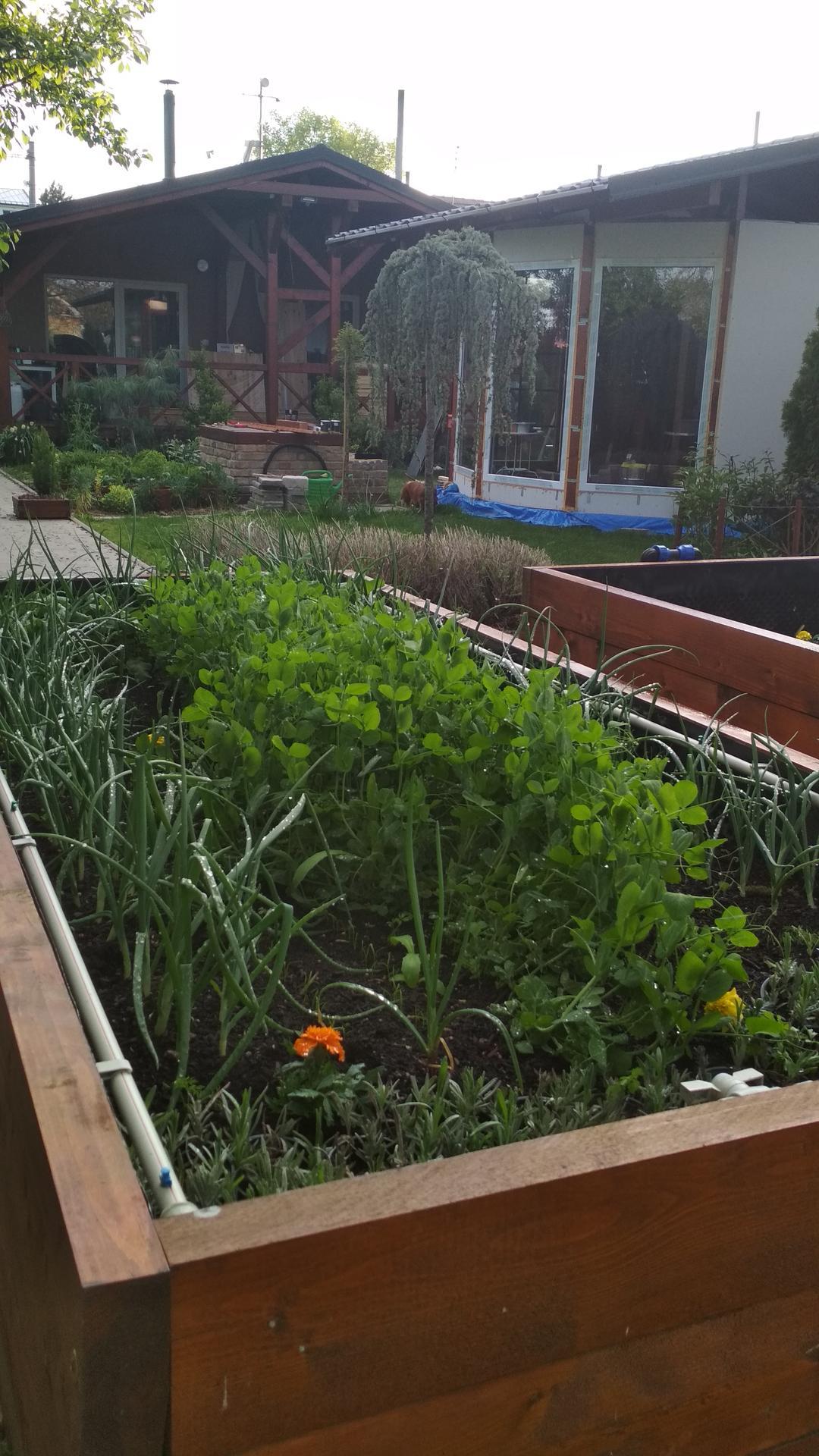 Vyvýšené záhony a úžitková záhrada - sezóna 2021 ... príprava, sadenie, starostlivosť - Obrázok č. 47