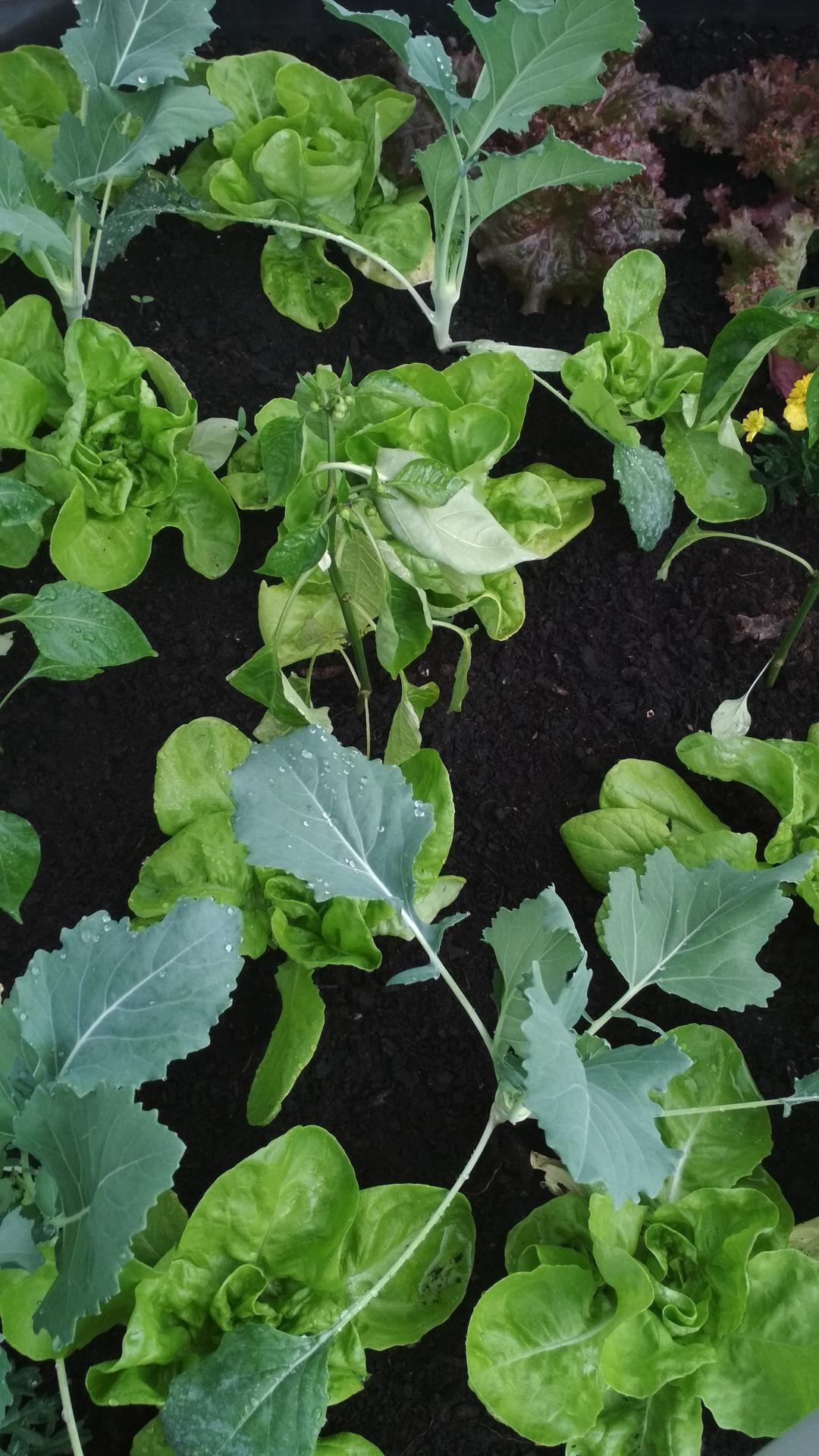 Vyvýšené záhony a úžitková záhrada - sezóna 2021 ... príprava, sadenie, starostlivosť - Obrázok č. 40