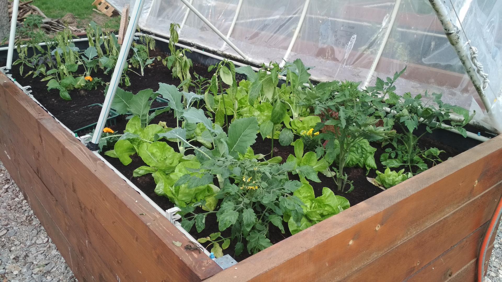 Vyvýšené záhony a úžitková záhrada - sezóna 2021 ... príprava, sadenie, starostlivosť - Obrázok č. 43