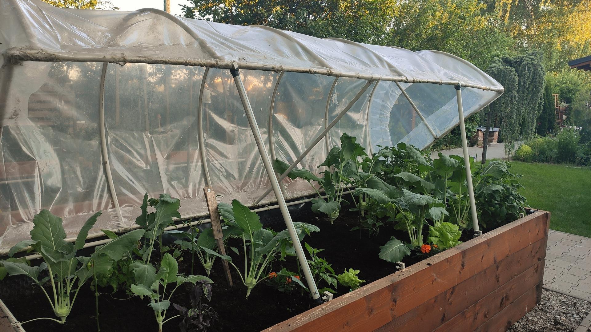 Vyvýšené záhony a úžitková záhrada - sezóna 2021 ... príprava, sadenie, starostlivosť - Obrázok č. 54