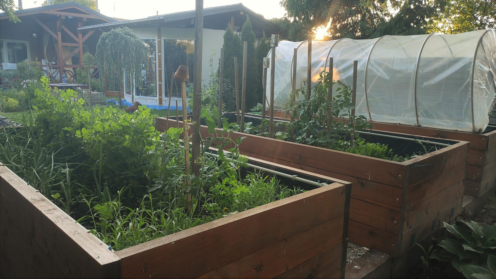 Vyvýšené záhony a úžitková záhrada - sezóna 2021 ... príprava, sadenie, starostlivosť - Obrázok č. 52