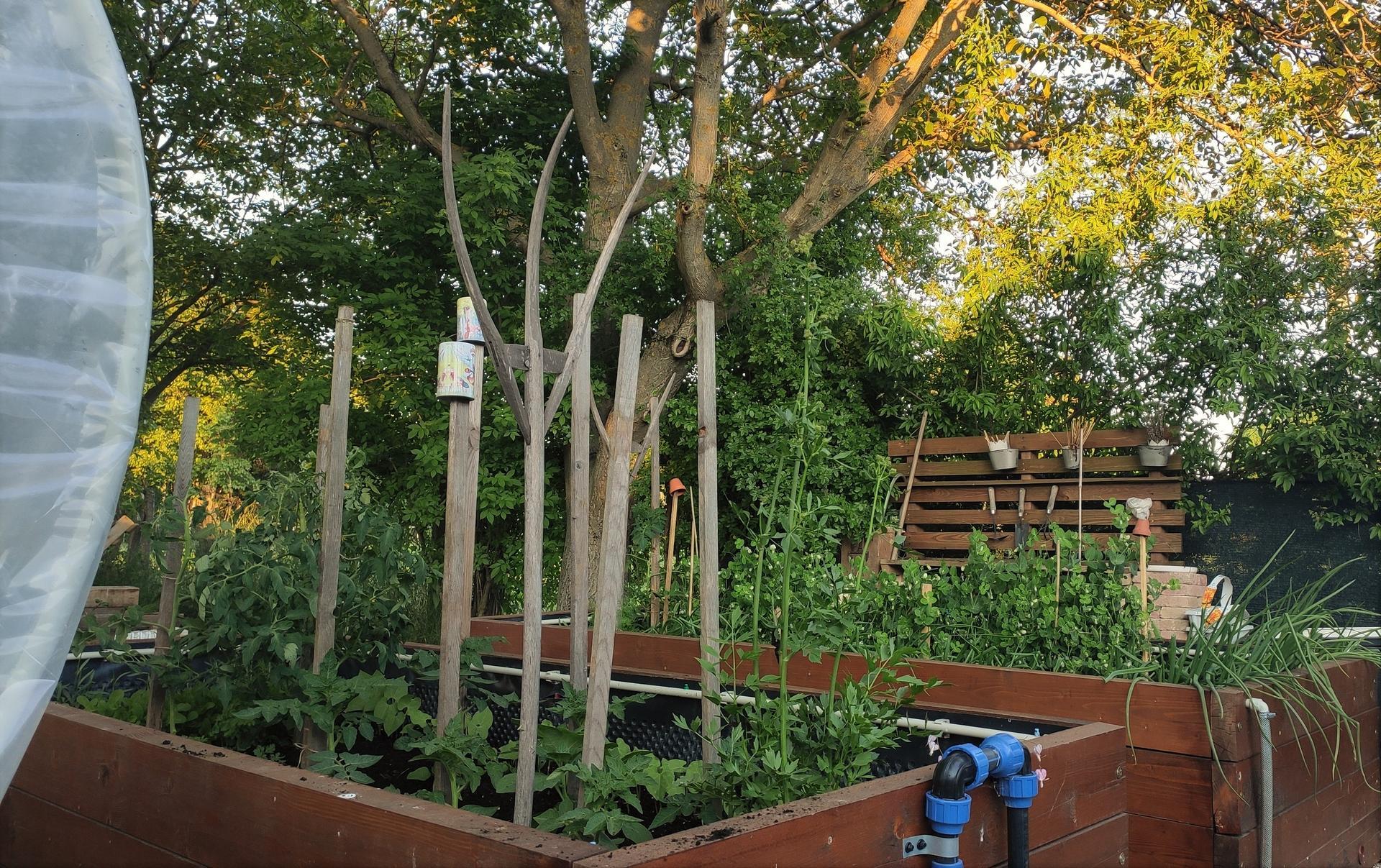 Vyvýšené záhony a úžitková záhrada - sezóna 2021 ... príprava, sadenie, starostlivosť - Obrázok č. 49