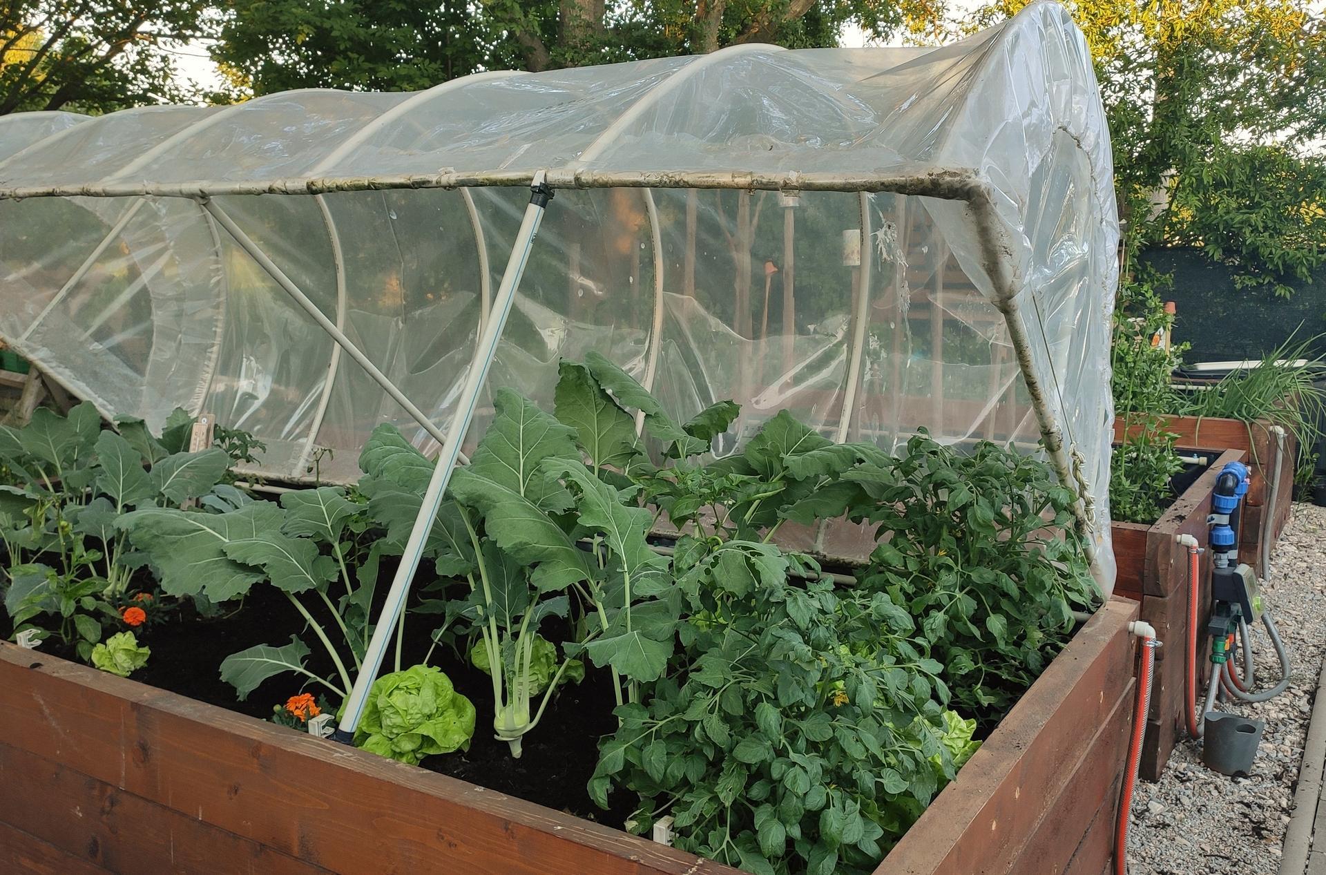 Vyvýšené záhony a úžitková záhrada - sezóna 2021 ... príprava, sadenie, starostlivosť - Obrázok č. 51