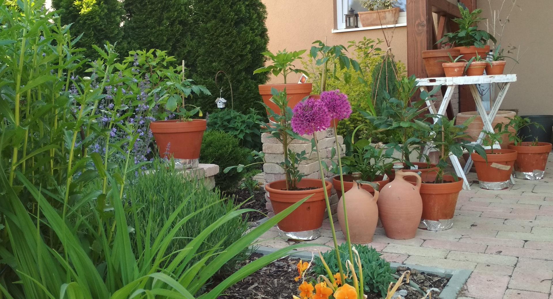 Dahlie - pestovanie v kvetináčoch - Obrázok č. 19