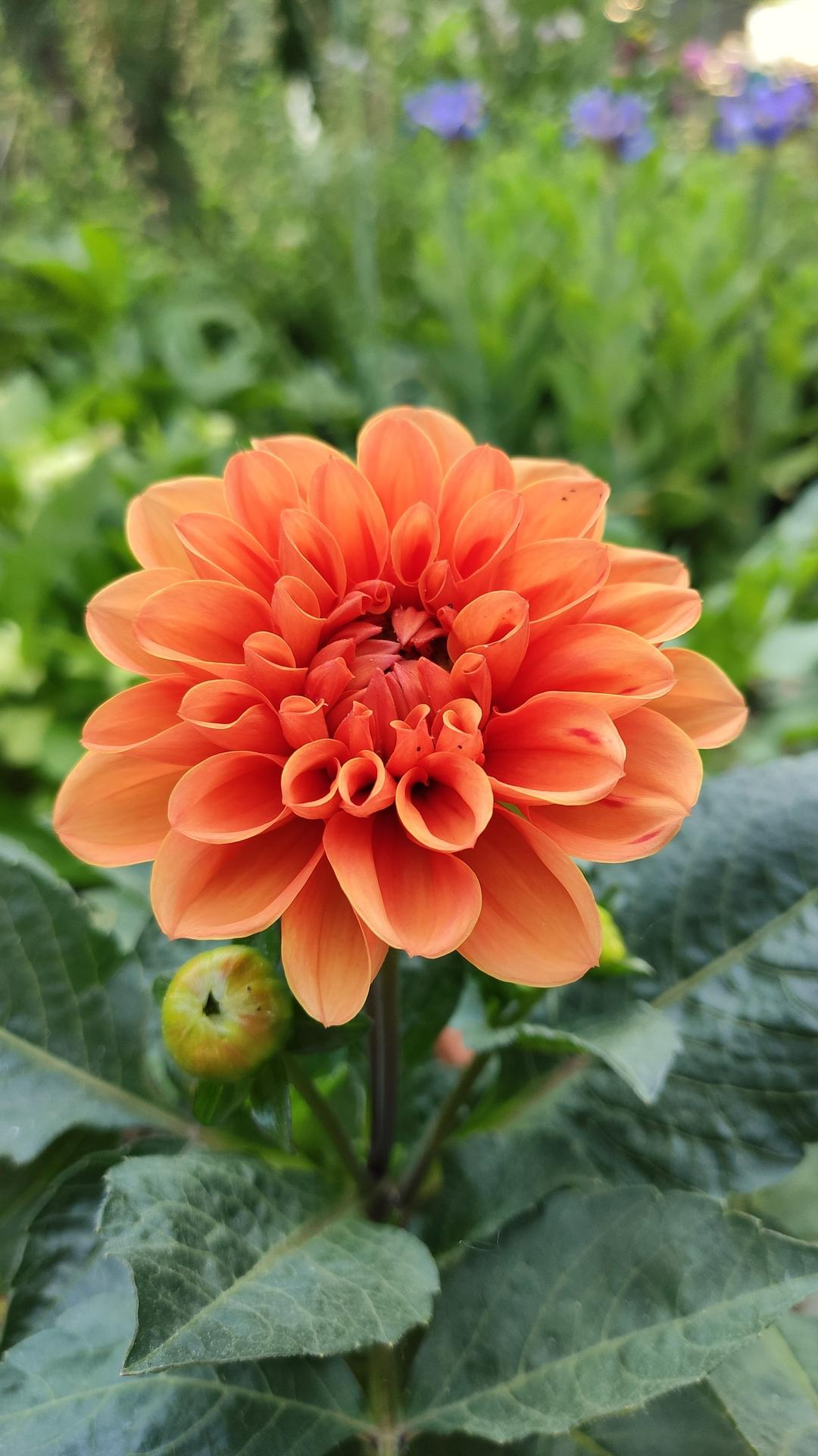 Dahlie - pestovanie v kvetináčoch - Obrázok č. 18