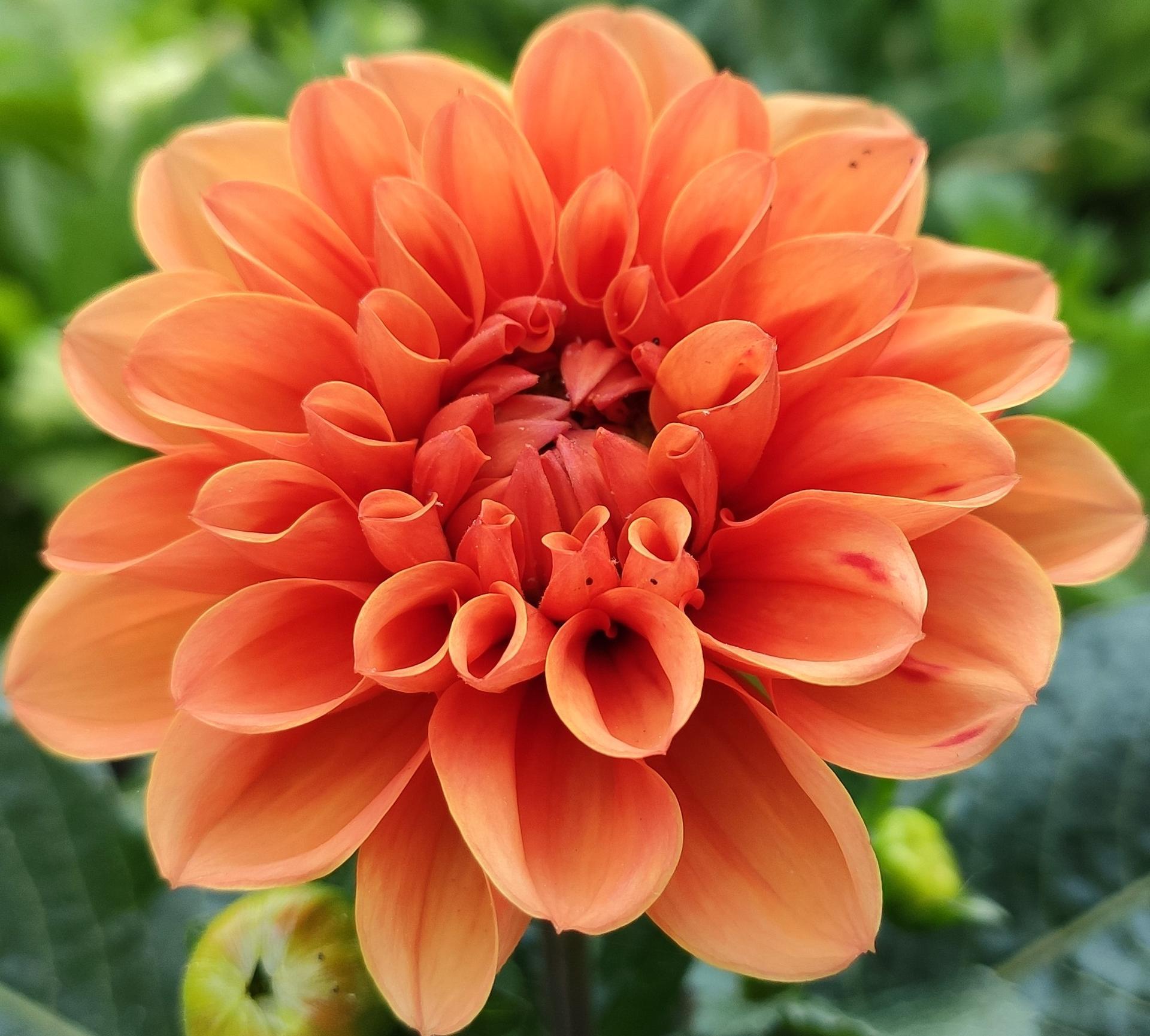 Dahlie - pestovanie v kvetináčoch - Obrázok č. 15
