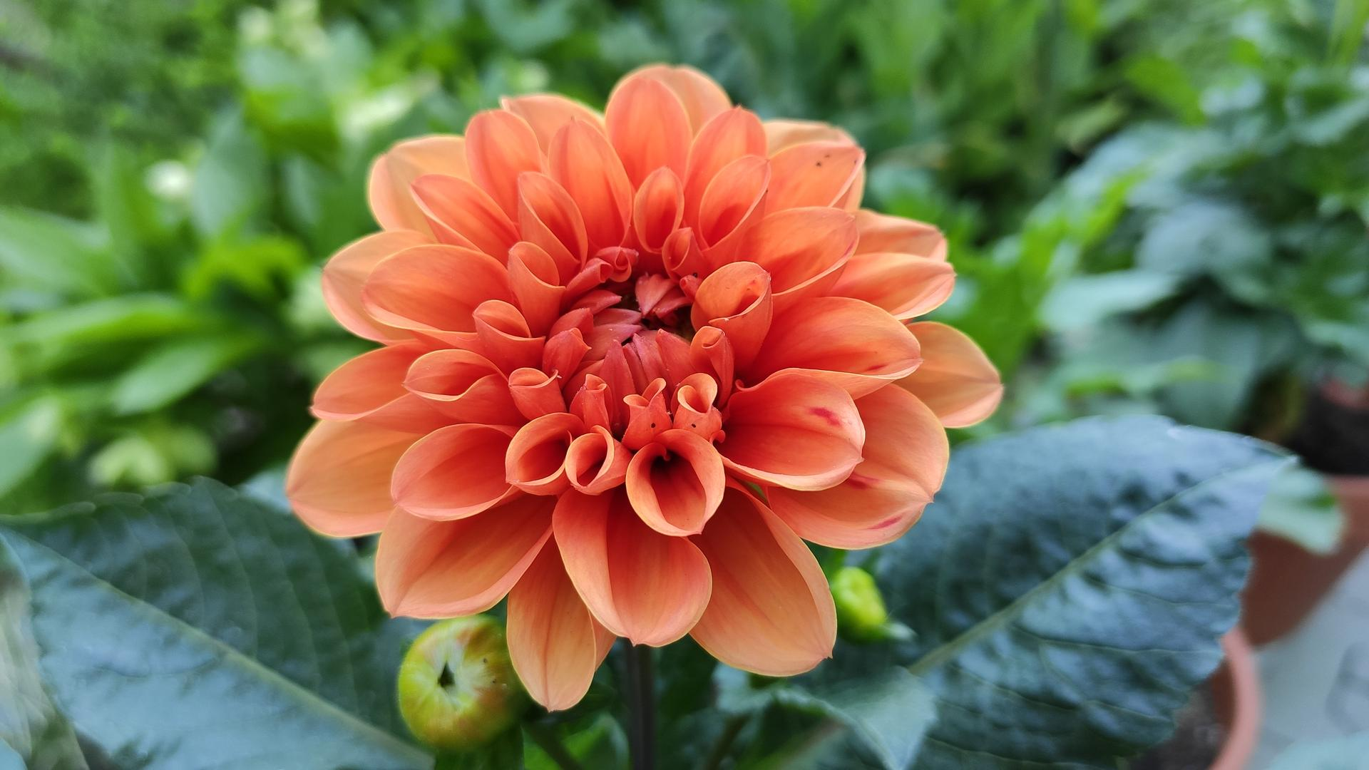 Dahlie - pestovanie v kvetináčoch - Obrázok č. 16