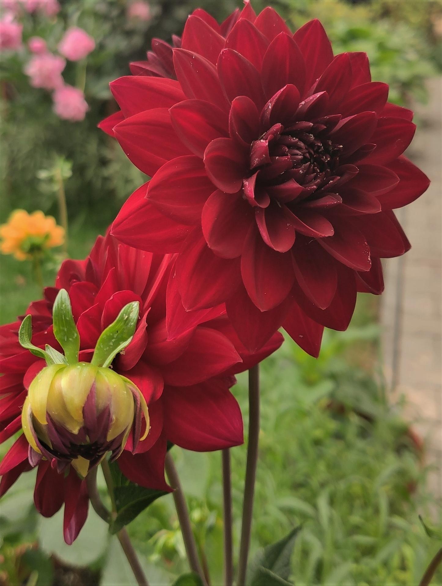 Dahlie - pestovanie v kvetináčoch - Obrázok č. 25