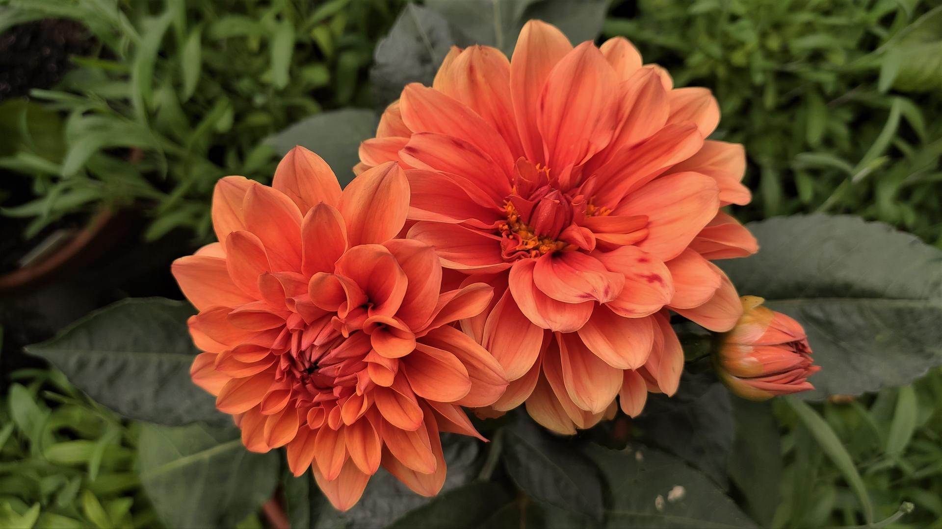 Dahlie - pestovanie v kvetináčoch - Obrázok č. 27