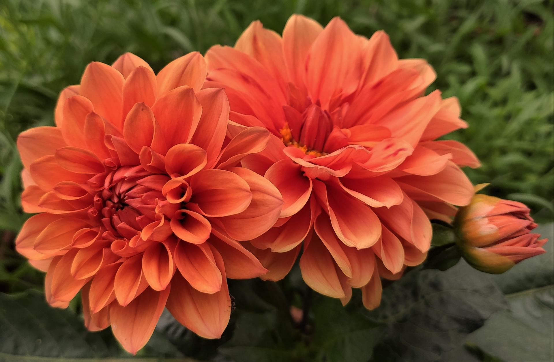Dahlie - pestovanie v kvetináčoch - Obrázok č. 24