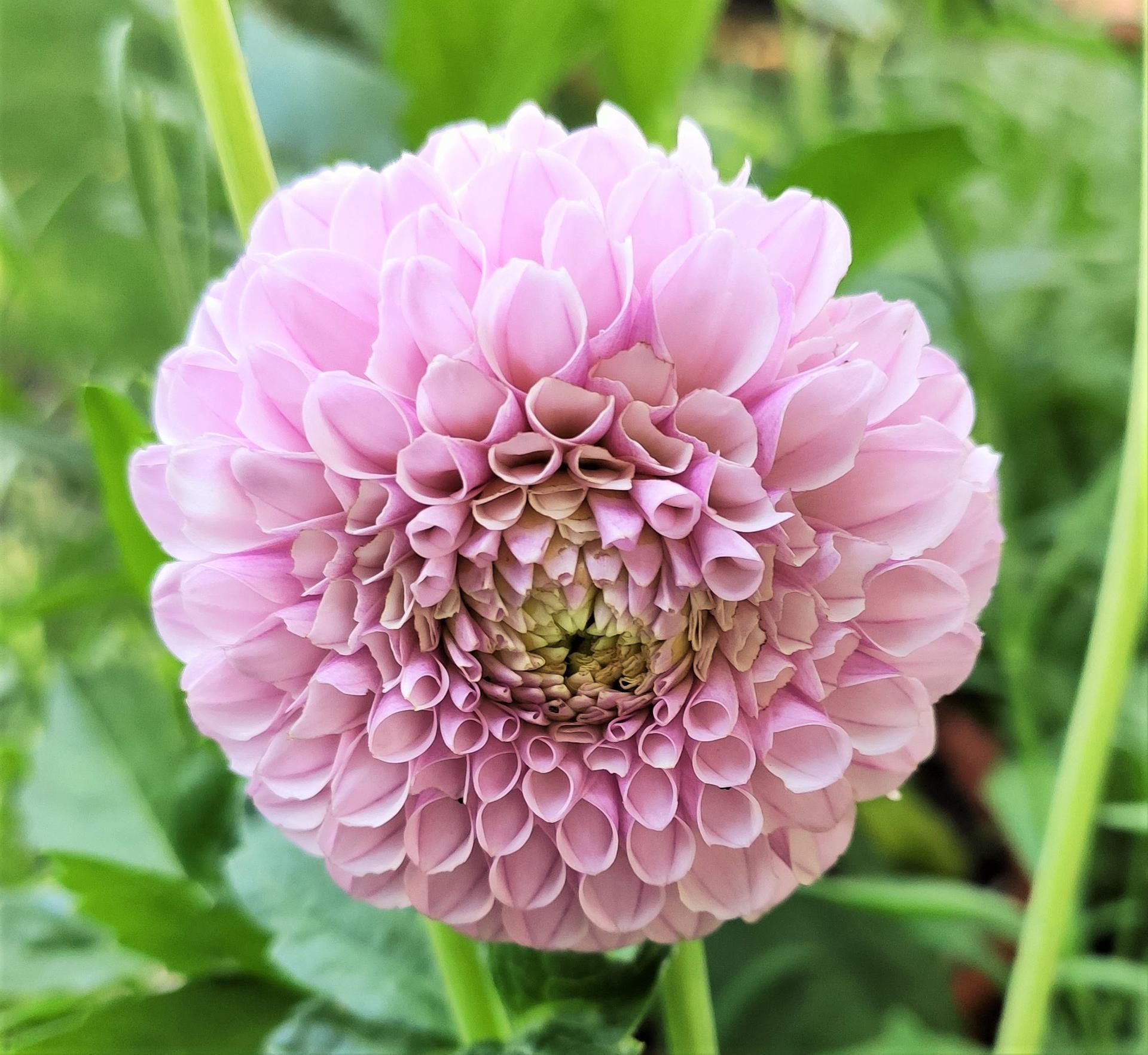Dahlie - pestovanie v kvetináčoch - Obrázok č. 28