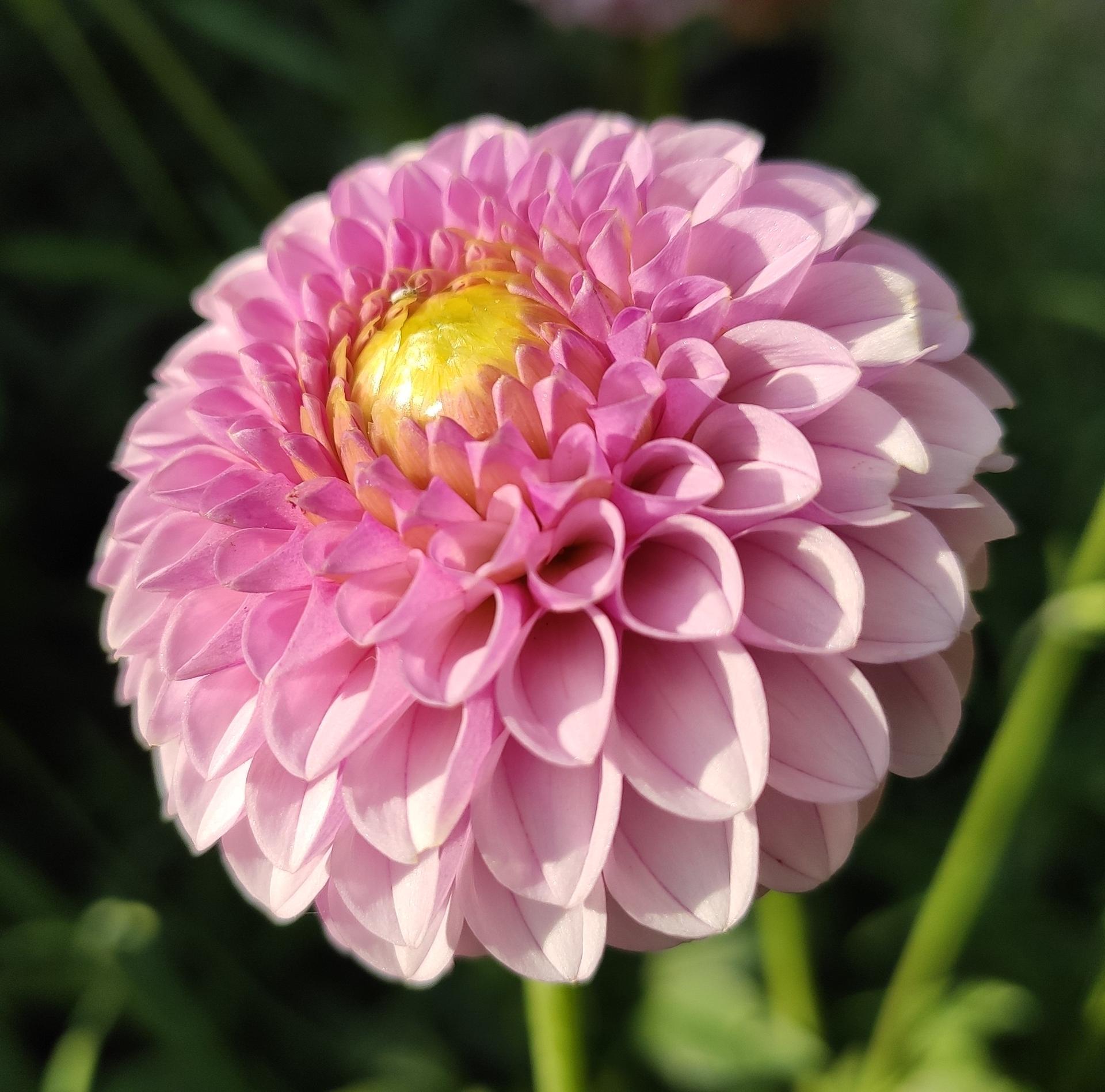 Dahlie - pestovanie v kvetináčoch - Obrázok č. 29