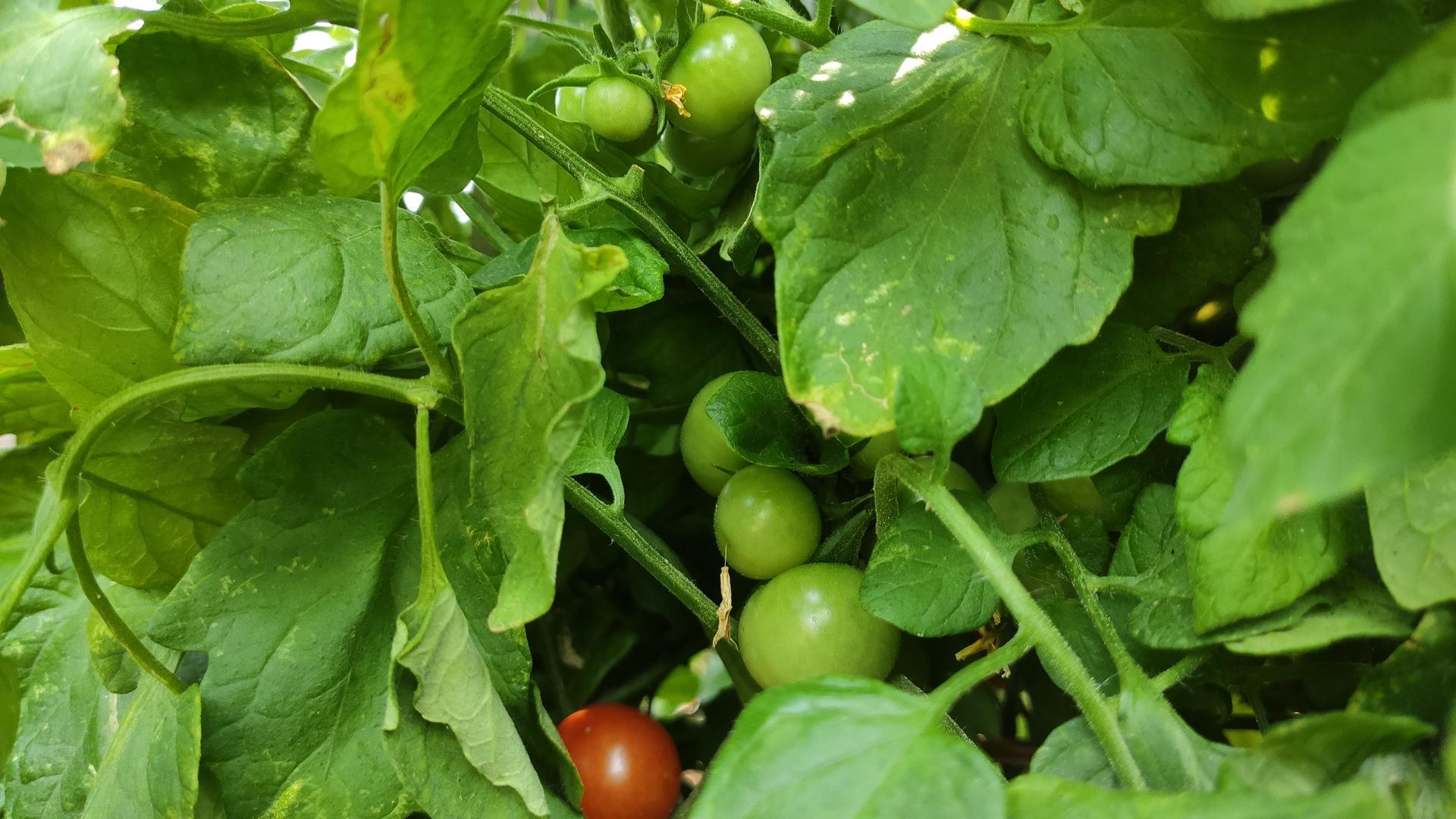 Vyvýšené záhony a úžitková záhrada - sezóna 2021 ... príprava, sadenie, starostlivosť - Obrázok č. 64