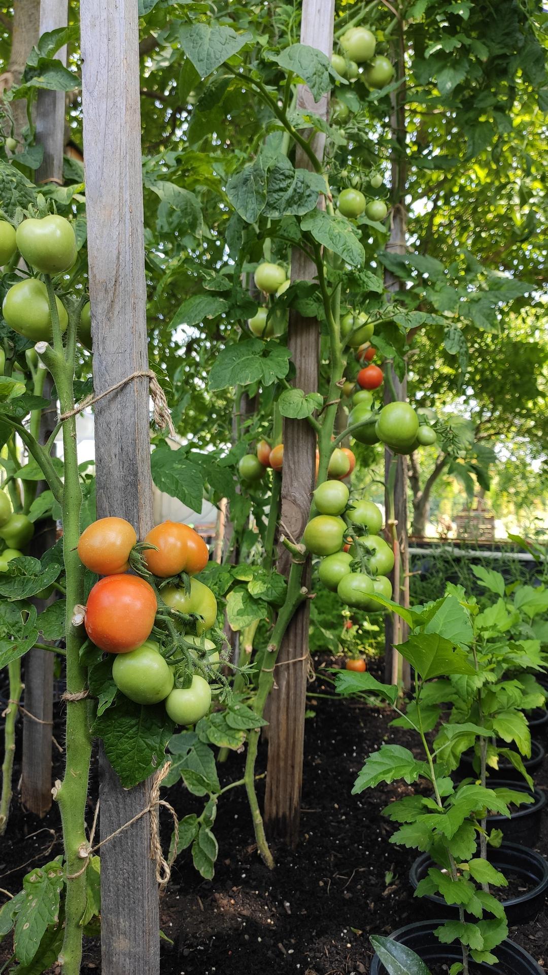 Vyvýšené záhony a úžitková záhrada - sezóna 2021 ... príprava, sadenie, starostlivosť - Obrázok č. 58
