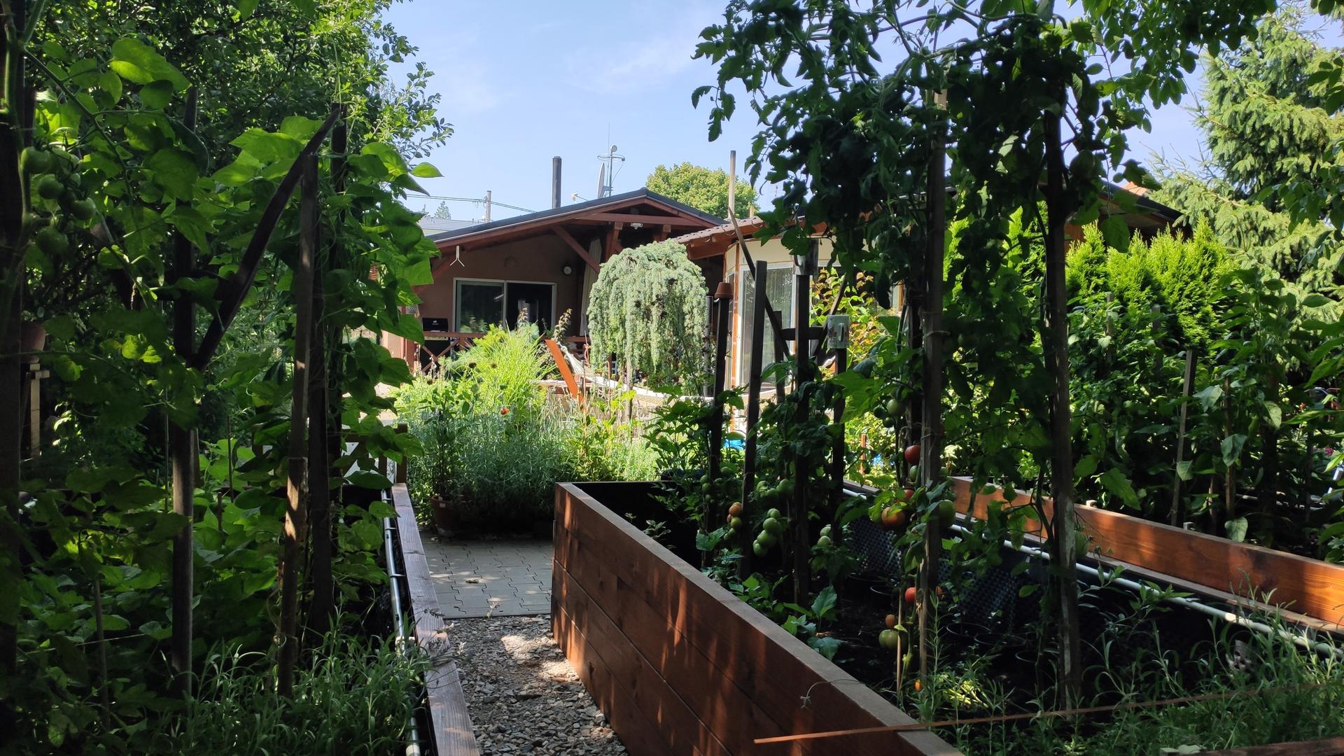 Vyvýšené záhony a úžitková záhrada - sezóna 2021 ... príprava, sadenie, starostlivosť - Obrázok č. 57