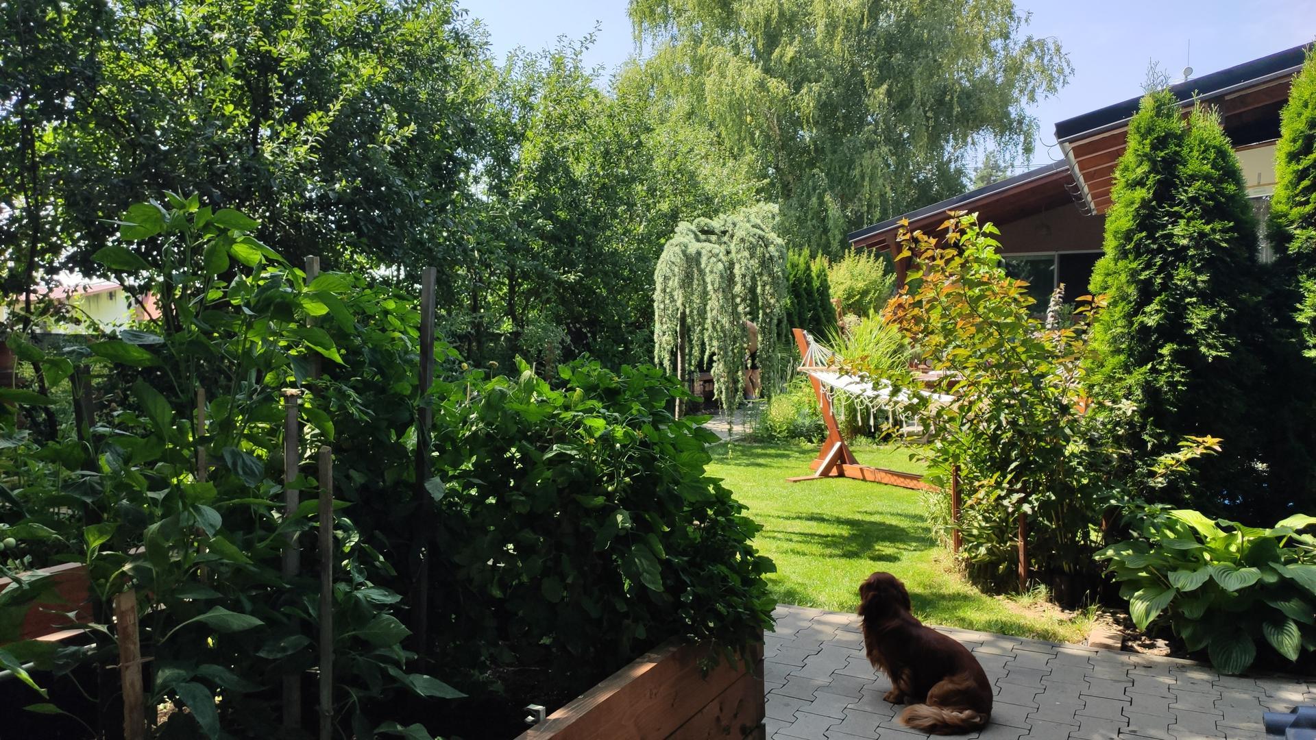 Vyvýšené záhony a úžitková záhrada - sezóna 2021 ... príprava, sadenie, starostlivosť - Obrázok č. 65