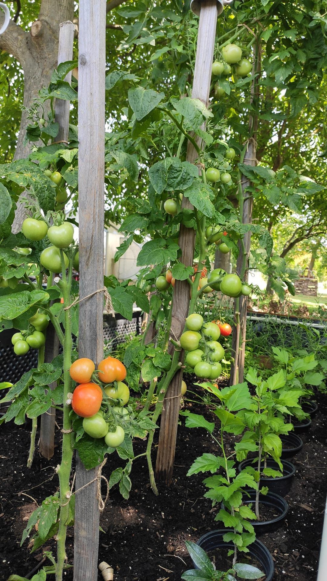 Vyvýšené záhony a úžitková záhrada - sezóna 2021 ... príprava, sadenie, starostlivosť - Obrázok č. 60