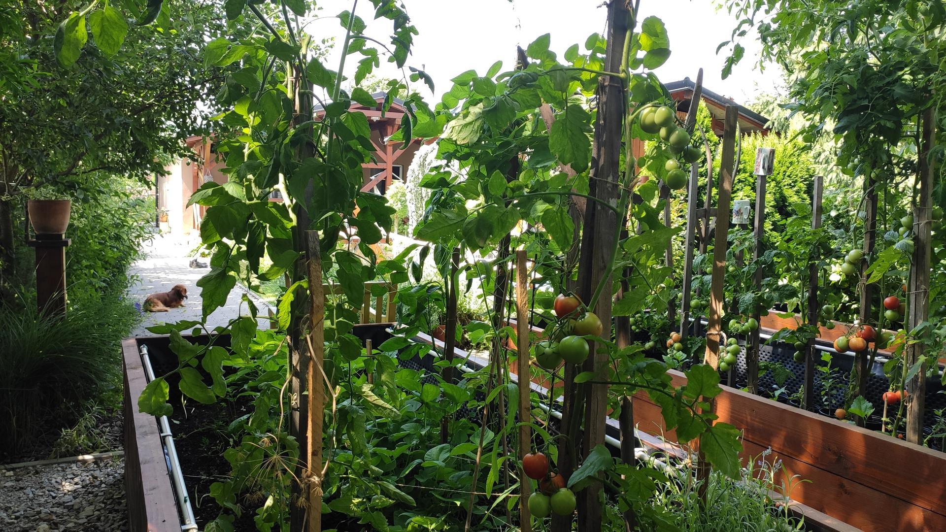 Vyvýšené záhony a úžitková záhrada - sezóna 2021 ... príprava, sadenie, starostlivosť - Obrázok č. 62