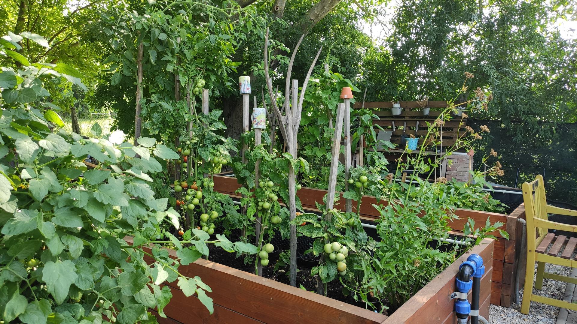 Vyvýšené záhony a úžitková záhrada - sezóna 2021 ... príprava, sadenie, starostlivosť - Obrázok č. 59