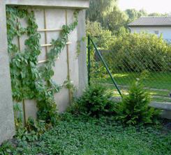 Taky už nám roste trocha zeleně na garáži k sousedům.