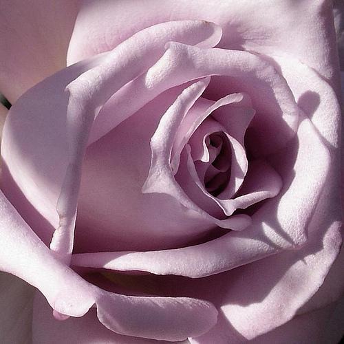 Tahle růže mě bude doufám doprovázet naším dnem...