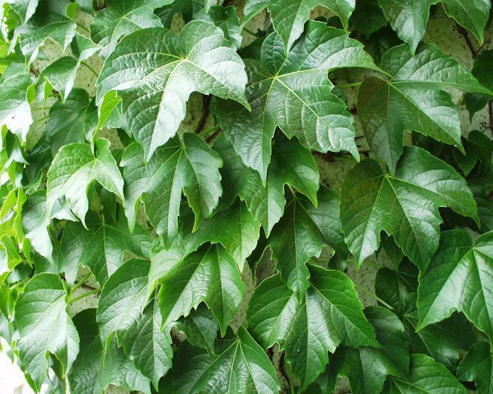 """Zelene fasady - Partenocysus tricuspidata (trojlaločný) - schopný pridržať sa steny """"svojpomocne"""", prichytáva sa pomocou prísavných doštičiek. Je známy aj ako prísavník, alebo psie víno"""