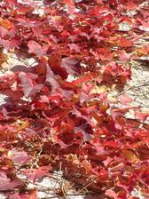 Partenocysus tricuspidata - veľké lesklé trojlaločne vykrajované listy, s krásnym ohnivo červeným zafarbením na jeseň