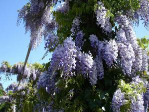 Elegantným druhom je vistéria (Wisteria) - ovíjavá liana s voňavými dlhými strapcami kvetov (podobajú sa agátu). Potrebuje však pevnú a stabilnú oporu, teplé a slnečné stanovište. Vhodnejšia je na pergolu.
