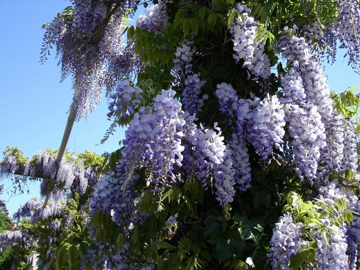 Zelene fasady - Elegantným druhom je vistéria (Wisteria) - ovíjavá liana s voňavými dlhými strapcami kvetov (podobajú sa agátu). Potrebuje však pevnú a stabilnú oporu, teplé a slnečné stanovište. Vhodnejšia je na pergolu.
