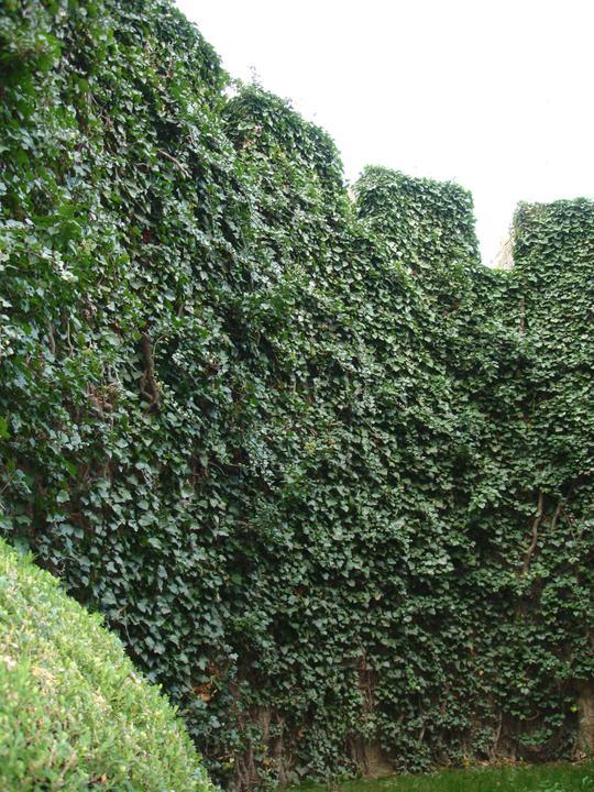 Zelene fasady - Bojnický zámok - tento brečtan má viac ako 100rokov