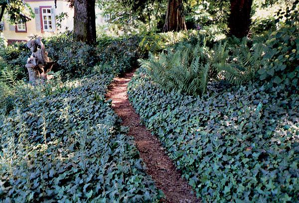 Zelene fasady - brečtan je pekny aj ako pôdopokryvná rastlina na miesta, kde veľa slnka nezasvieti