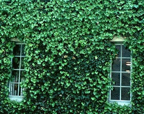 "Zelene fasady - brečtan dokaže tiež takto ""obliecť"" fasádu"